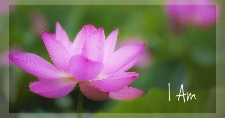 pink-lotus-flowers-jack-nevitt.2