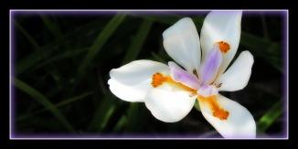 whiteBlossom