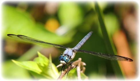 dragonfly22-sm